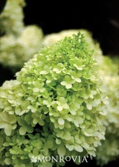 Limelight Hardy Hydrangea  Growth Habit 6'-9' tall and wide.  I personally have it in my yard and it is GORGEOUS!  Beautiful large flowers and in the fall, the color changes to a dusty pink.  A must have.  Super Hardy, too.