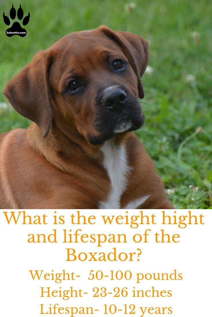 Boxador A Boxer Labrador Mix Labrottie Com Boxer Lab Mix Puppies Boxer Labrador Mix Lab Mix Puppies