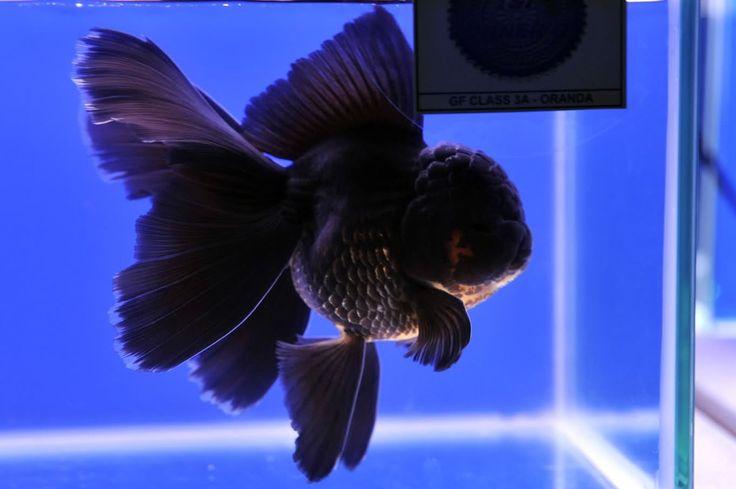 Oranda Gold Fish 10