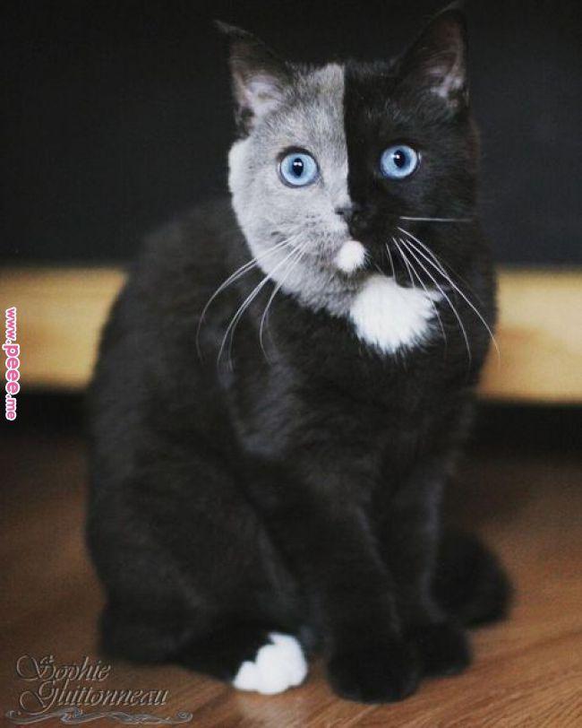 Eine wunderschöne Katze, deren Gesicht perfekt von schwarzem Pelz auf einer Sei… – Tiere