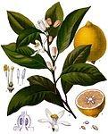 Список растений, иллюстрации к которым размещены в справочнике «Köhler's Medizinal-Pflanzen» — Википедия