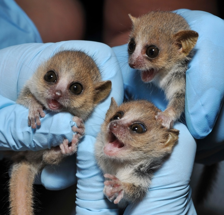 Meet these baby mouse lemur triplets! The Duke Lemur Center is the only facility in North America breeding mouse lemurs. We have had 20 born this summer. Photo credit: David Haring.