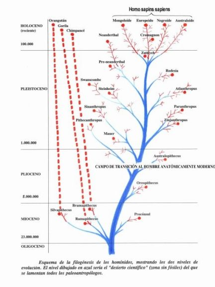 Phylogeny of hominids showing two levels of evolution ...