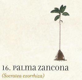 Palma zancona, Socratea exorrhiza - Archivo El Tiempo