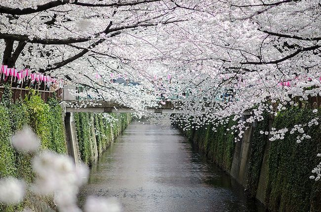 Japanese cherry blossom season 2014
