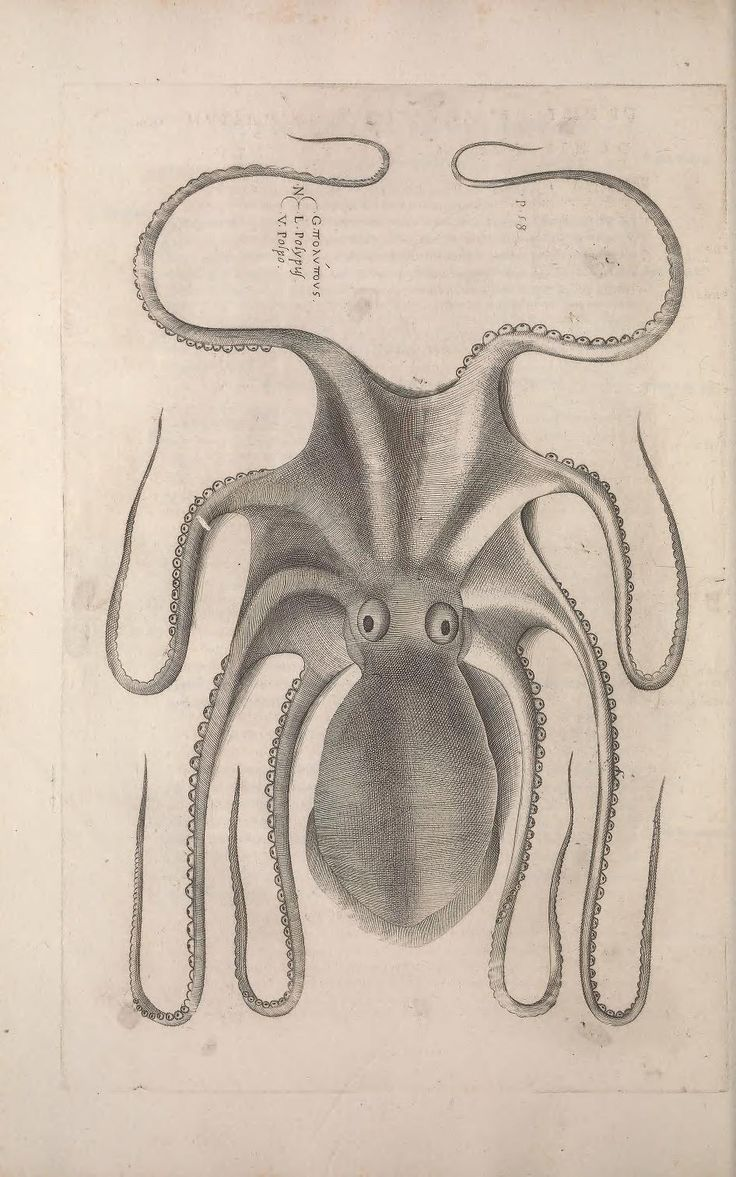 609 best cephalopods * cnidaria images on Pinterest | Octopus ...
