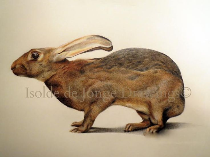 """""""Belgisk Hare"""". Pencil and colour pencil on paper. 2015."""