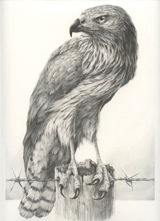 Beautiful and Realistic #Sketches of #Birds by Vanessa Foley http://inspirationhut.net/inspiration/realistic-sketches-birds-vanessa-foley/