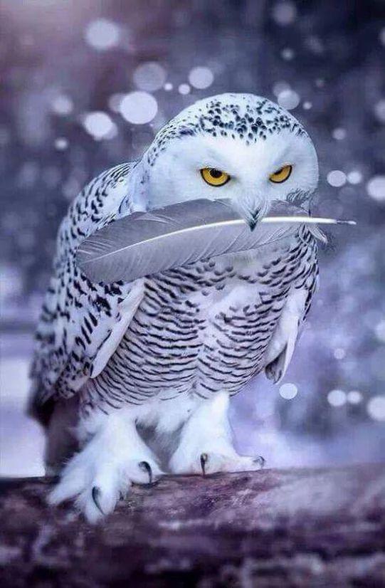 Harfang des neiges tenant une plume dans son bec ^^