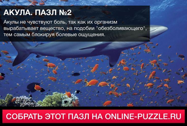 ☝  Акулы не чувствуют боль, так как их организм вырабатывает вещество, на подобии «обезболивающего», тем самым блокируя болевые ощущения.