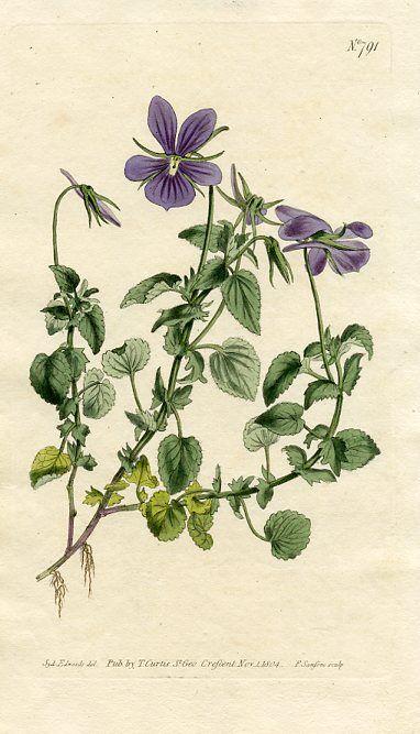 Horned Violet (Viola cornuta)   Curtis's Botanical Magazine (England , 1804)