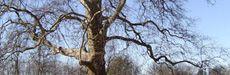 Platano del Parco Cavour a Santena (Torino), albero monumentale.