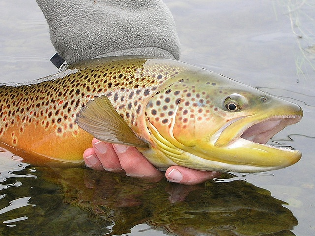 17 best ideas about brown trout on pinterest | trout fishing, Fly Fishing Bait