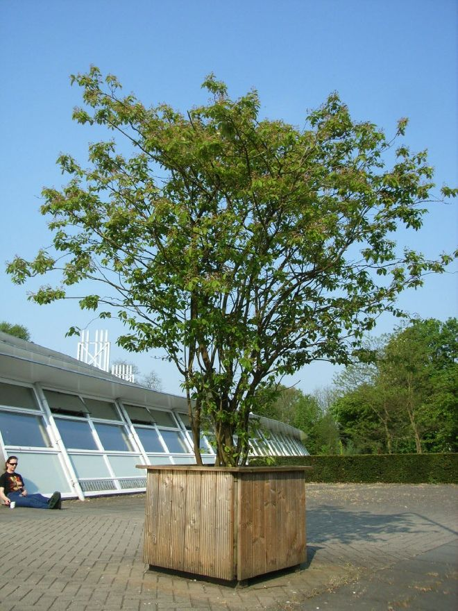 krentenboom in bloembak
