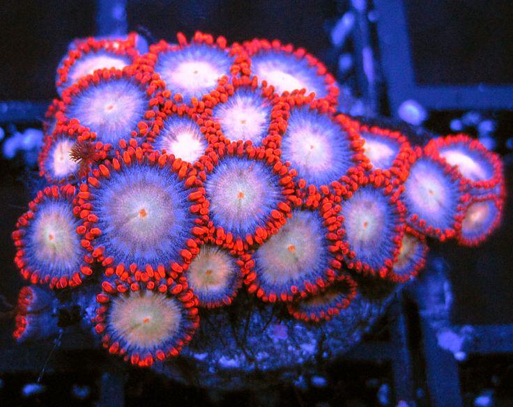 Orange Blossom Zoas  http://FragJunky.com  http://Facebook.com/FragJunkyCorals