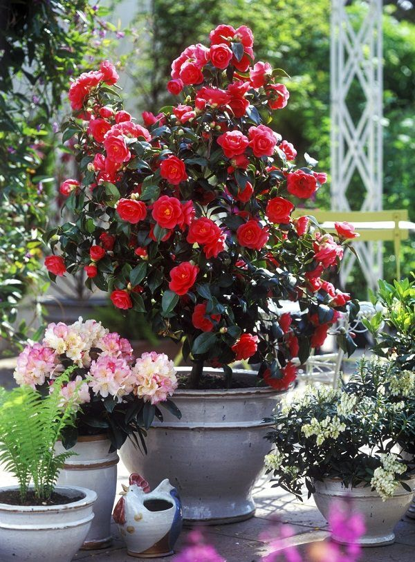 Camelia in pots Grows best in climates with milder summers in temperate to subtropics. It becomes demanding. Camellia requires humus rich acidic soil and regular maintenance.
