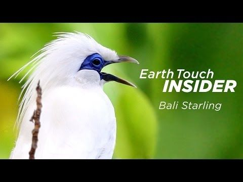 HOW: Saving the Bali Starling with FNPF - YouTube  \ Heroes Of Wildlife went to visit FNPF ( Friends of the National Parks Foundation ) on Nusa Penida. A small island near Bali. They are saving the Bali Starling from the edge of extinction. If you want to visit this quite and yet to discover island and lend some help, contact them, it's a nice way to spend some days, helping and meeting new people and the best way to see the island and how local people live