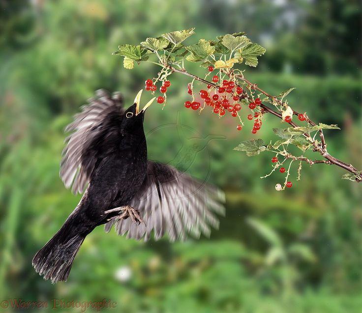 Blackbird picking red currants photo - WP05356