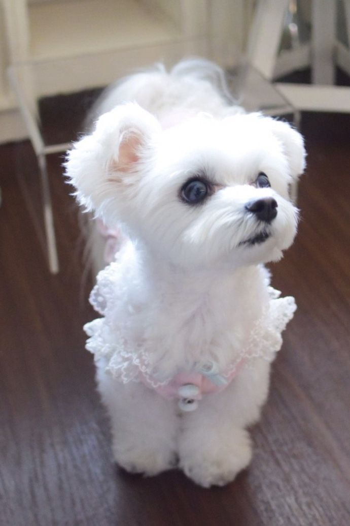 Did Somebody Say Treat Cute Baby Animals Maltese Puppy