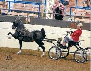 Hackney Horse | Hackney Horse Breed