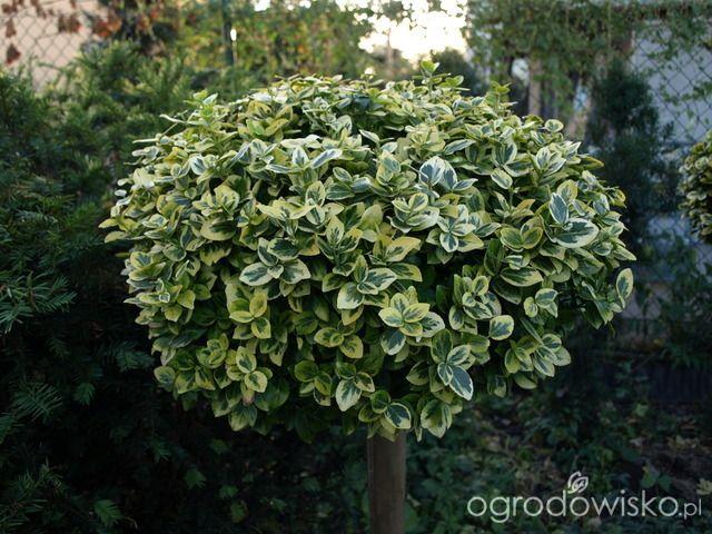 Zimozielony ogród przy białym domu - strona 37 - Forum ogrodnicze - Ogrodowisko