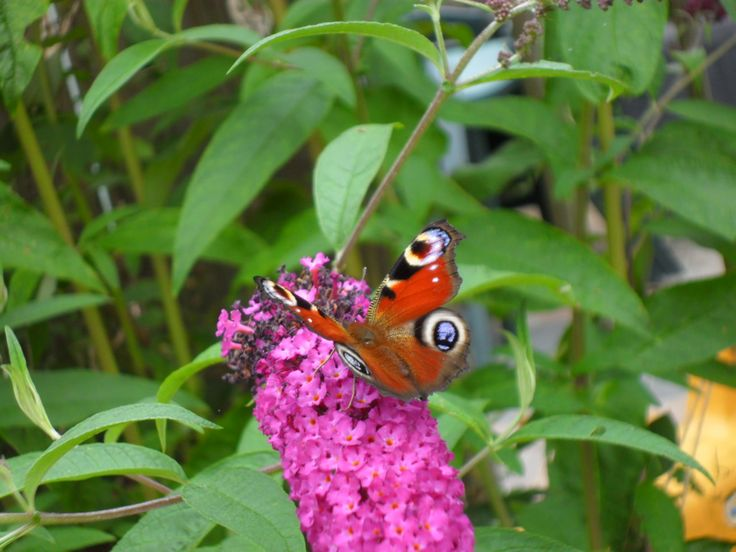 Butterfly,in my mum and dad's garden. August 2016.
