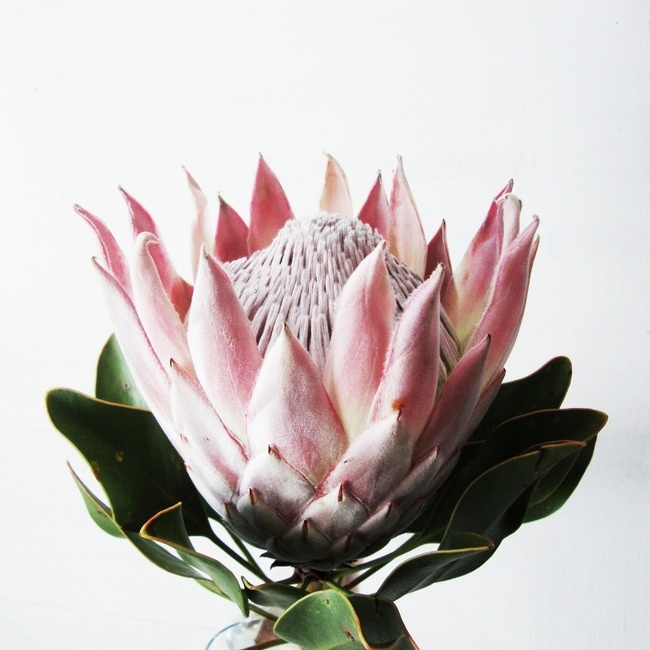 king protea. A little expensive if you can find one at your florist, but they last over a month.