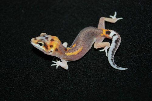 Leopard Geckos For Sale - Gecko Caresheets and Breeding Information - Buy Leopard Geckos as Pets