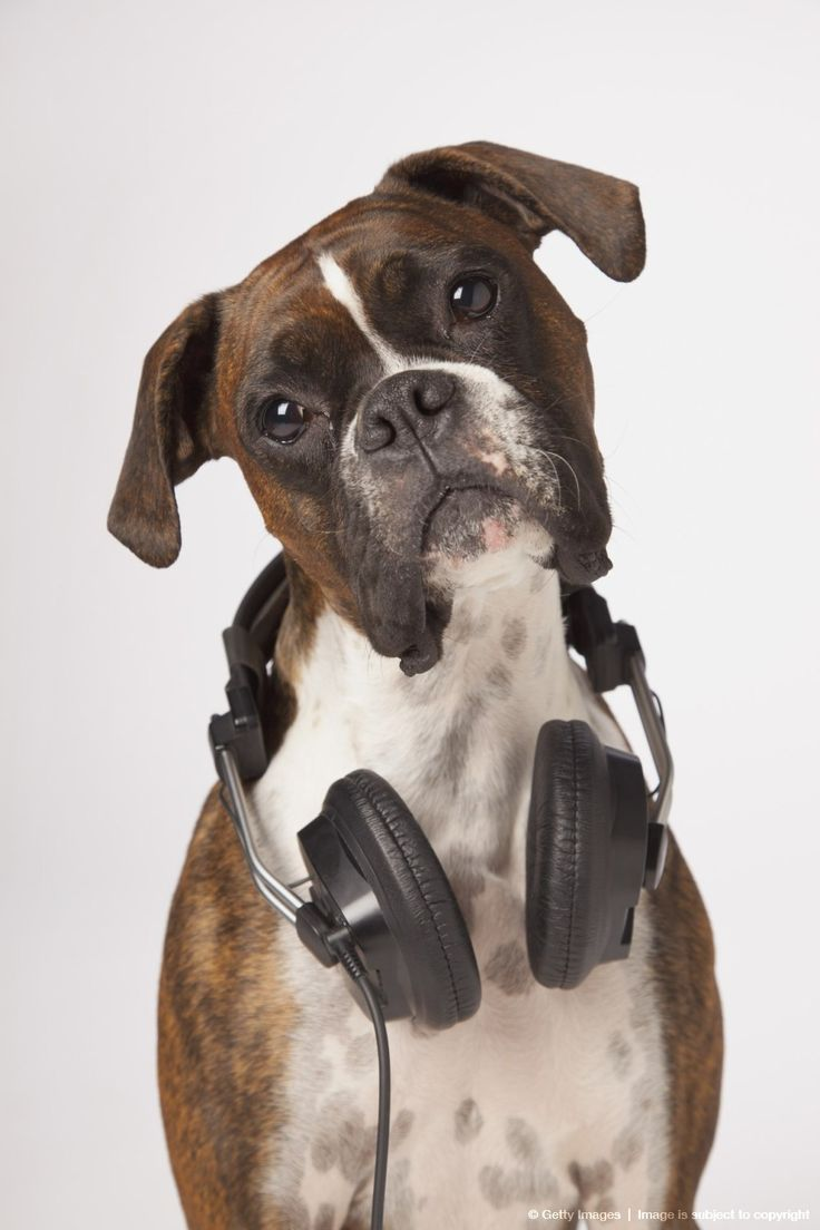 """boxer dog with headphones.  Perhaps the new version of """"His Master's Voice""""?"""
