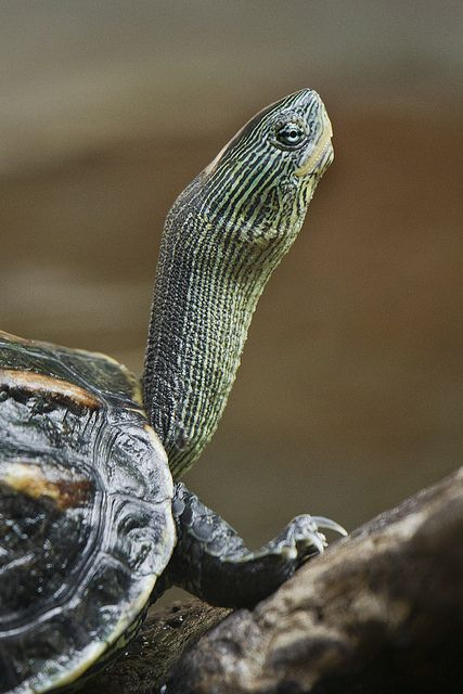 I am fascinated by the turtles at our lake. They all climb on a big log to sun themselfs.....all sizes.