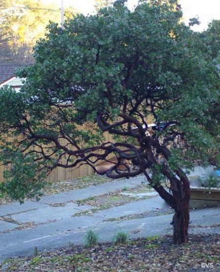 Arctostaphylos 'Sunset' manzanita | California Flora Nursery #BloomingNow #CaliforniaNativePlants