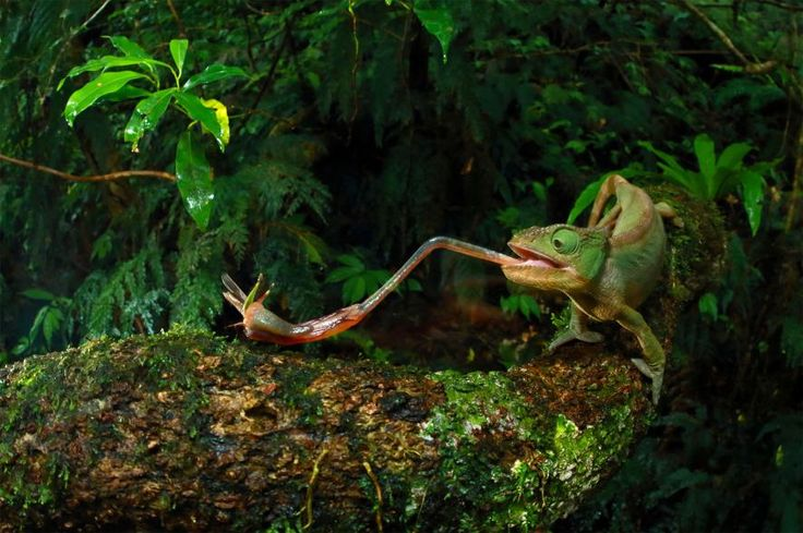 Picture of a chameleon eating a bug