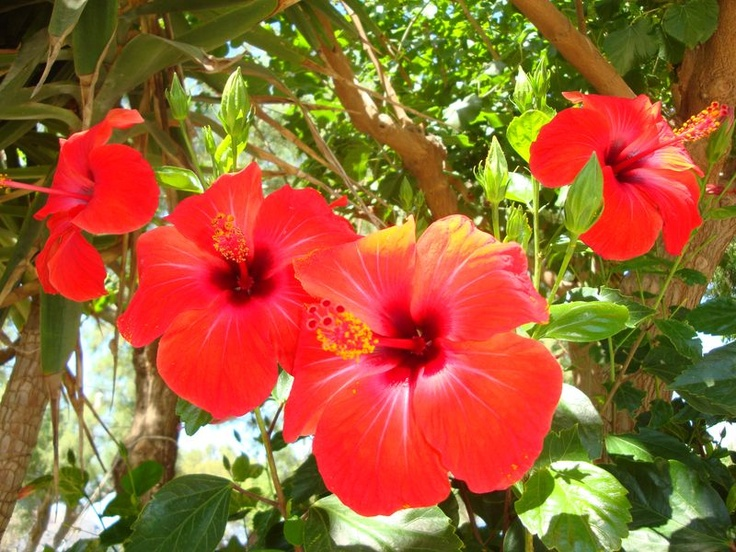 Scarlet flame, Hibiscus - South Crete