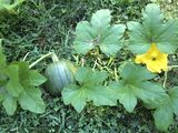 container gardening picture of pumpkin growing