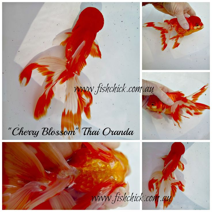 Stunning Oranda Goldfish from Thailand. email fishchick@gmail.com for details.