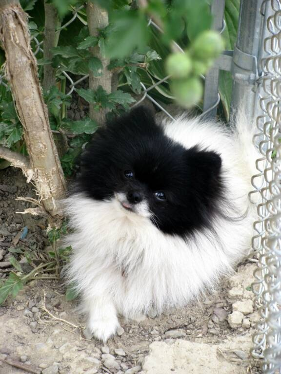 "This looks almost exactly like our Pomeranian ""Templeton"" that we used to own (except he had a white stripe on his forehead like a skunk)."