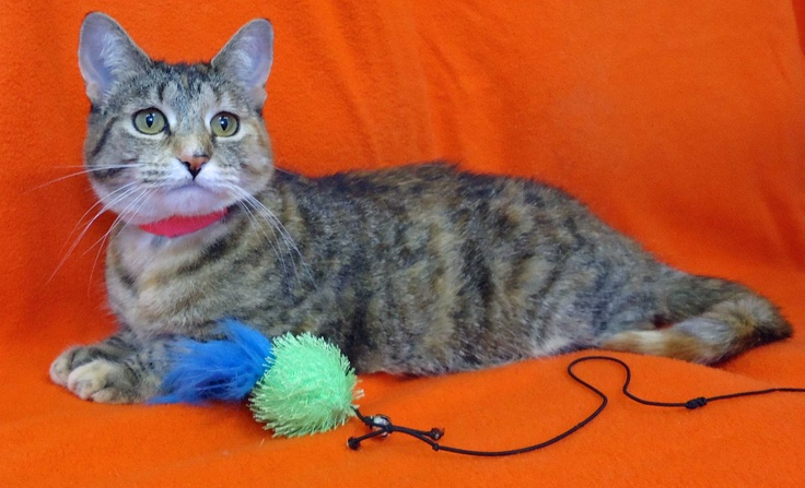 Rose        6 year old female      Domestic Short Hair x      Echuca, VIC      ID: 897056    Miss Independent award: Initially shy of new surroundings, Rose soon adjusts and reveals her lovely personality. She likes nothing more than to sit back and take the world in from the comfort of her soft bed. She enjoys a smooch but being a tortoiseshell, she also like things her own way and will let you know when she wants her personal space. Cats need privacy too, you know!