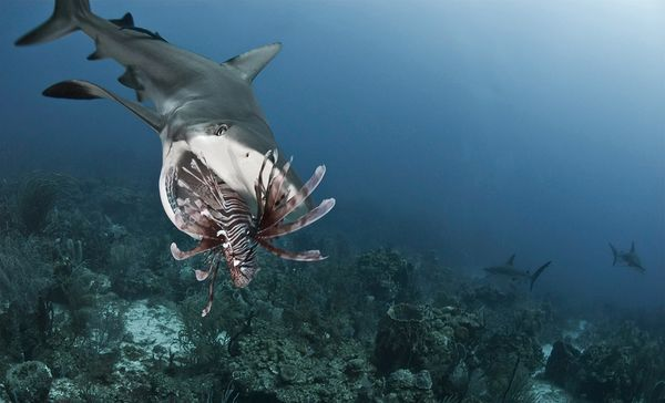 Sharks Taught to Hunt Alien Lionfish on Honduras: Lionfish Patrol, Aliens Lionfish, Control Inva, Lionfish カリブ海, Aren T Native, Foto De, Hunt'S Aliens, Inva Lionfish, Inva Species