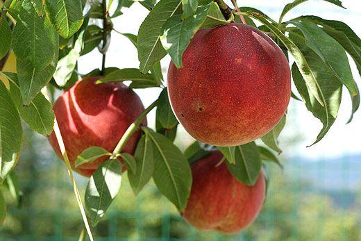 Best Fruit Trees for Missouri