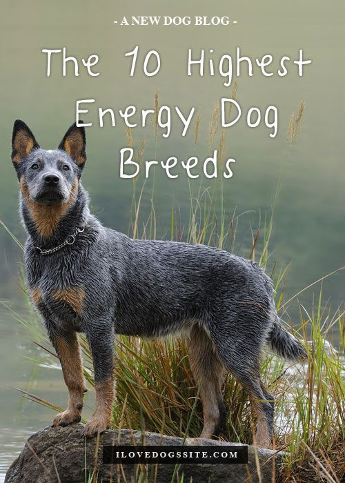 Most High Energy Dog Breeds