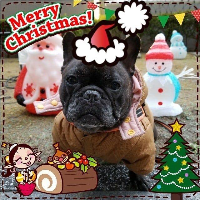 ☆☆☆☆☆☆☆ メリークリスマス🎄 * みなさん素敵なクリスマスをお過ごしください🎅🎂 * サンタさ~ん🎅、まだですか? byあくび * #frenchie_bulldog#frenchbulldog#buhi#BUHI#フレンチブルドッグ#ふれんちんぶるどっぐ#フレブル#ブリンドルブヒ#ブリンドル#はなぺちゃ#仙台ブヒ#ブヒ#犬#フレンチブルドッグあくび#仙台フレブル#フレンチブルドッグひろば#フレブルひろば#愛犬#愛ブヒ#鼻ぺちゃ