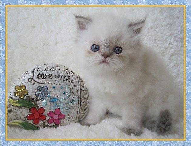 Balinese Munchkin Cat Himalayan Kittens For Sale New Jersey