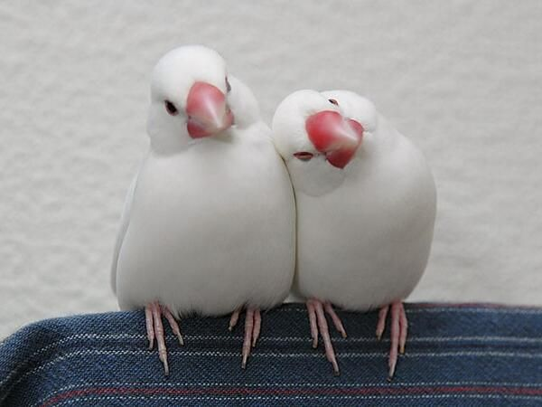 Image result for 白文鳥 かわいい