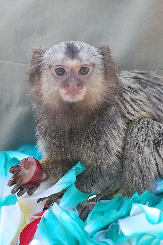 Best 25+ Pygmy marmoset ideas on Pinterest | Finger monkey ...  Best 25+ Pygmy ...