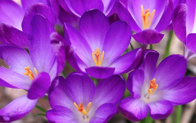 Fiori Bianchi Viola.Immagine Gratis Su Pixabay Fiori Pianta Crocus Viola