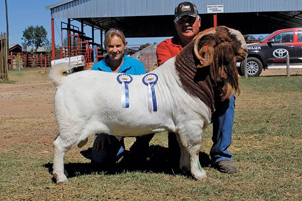 Senior and Grand Champion Boer Goat Ram  Love Goat, check out this Goat selection, you may like it:) https://etsytshirt.com/goat #goatsareawesome #goatlovers
