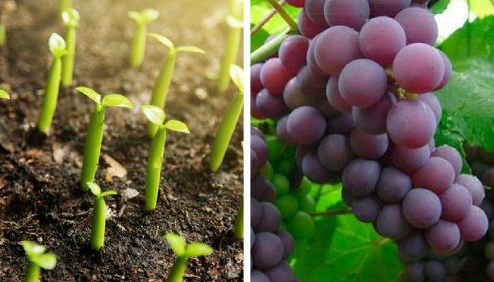 Descubre cómo cultivar uvas en casa - Mejor con Salud