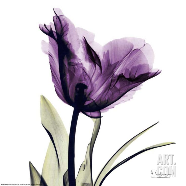 Find This Pin And More On Flower Xrays Royal Purple Parrot Tulip Art