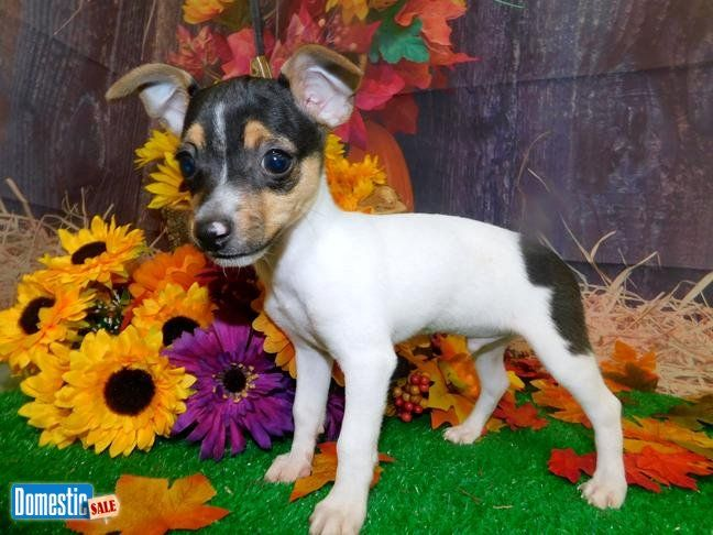 Toy Rat Terrier Babies Super Cute Tiny Tiny Fun Loving
