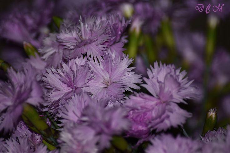 Garofițe – parfum în note liliachii